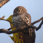 Forest-Owlet-2