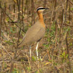 Indian-Courser-1