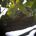 Indian-Little-Nightjar