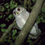 Indian-Scops-owl-2