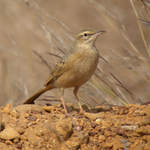Long-billed-Pipit
