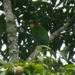 Gold-whiskered-Barbet