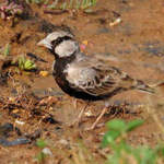 Ashy-crowned-Sparrow-lark