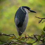 Black-crowned-Night-heron