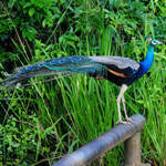 Common-Peafowl-1
