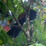 Green-billed-Coucal