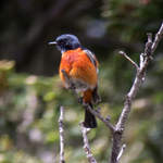 White-throated-Redstart-2