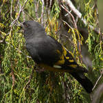 White-winged-Grosbeak-2