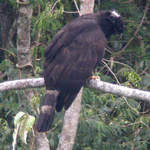 Black-Hawk-eagle