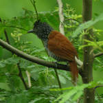 Chestnut-backed-Antshrike