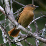 Chestnut-crowned-Becard