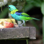 Green-headed-Tanager-2