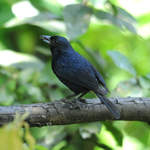 Ruby-crowned-Tanager