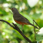 Rufous-bellied-Thrush