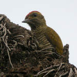 Yellow-eared-Woodpecker