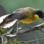 Courtois Laughingthrush