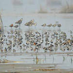 Waders of Rudong copyright Tong Menxiu