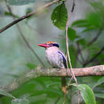 Lilac-cheeked-Kingfisher-1