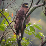 Sulawesi-Serpent-eagle