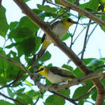 Black-ringed-White-eyes