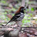 Red-backed-Thrush-1