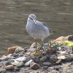 Grey-tailed-Tattler