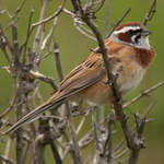 Meadow-Bunting