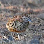 Barred-Buttonquail