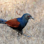 Greater-Coucal