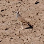 Greater-Hoopoe-Lark-2