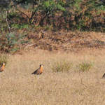 Indian-Coursers