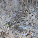 Indian-Stone-curlew