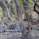 Leopard at Gir NP 2011