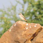 Rufous-tailed-Wheatear