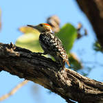 Yellow-crowned-Woodpecker
