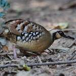 Bar-backed-Partridge-1