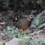 Scaly-breasted-Partridge-3