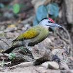Grey-faced-Woodpecker