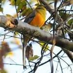 Orange-breasted-Trogon