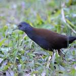 Black-tailed-Crake-1