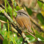 Mountain-Fulvetta