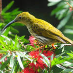 Streaked-Spiderhunter