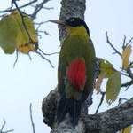 Black-headed-Woodpecker-4