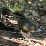 Bar-bellied-Pitta-2