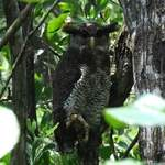 Barred-Eagle-owl-female-B