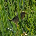 Bright-headed-Cisticola