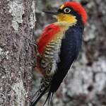 Yellow-fronted-woodpecker by Steve Bird