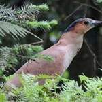 Malayan-Night-heron-Taiwan 2012 Tour