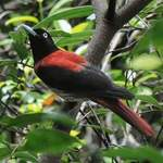 Red-Oriole-A