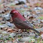 Taiwan Rosefinch 2012 Tour